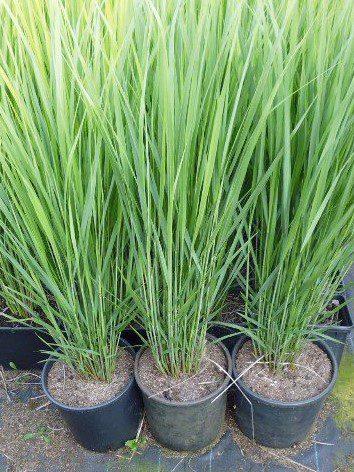 Grassen In Pot.Panicum Siergras Tuinen Soetemans